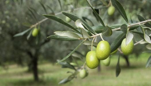 10 dolog, amit (talán) nem tudtál az oliváról